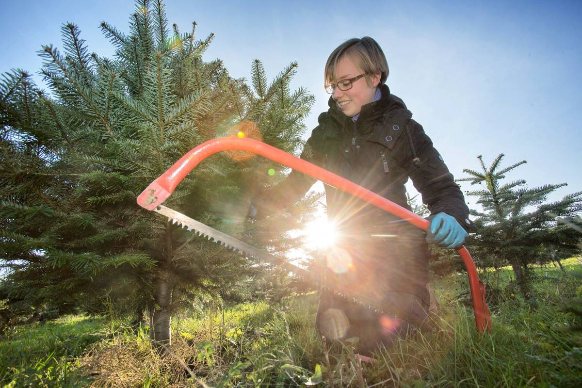 Impressionen Tannenbaum.Wo Essener Ihren Weihnachtsbaum Selbst Sägen Können Waz De Essen