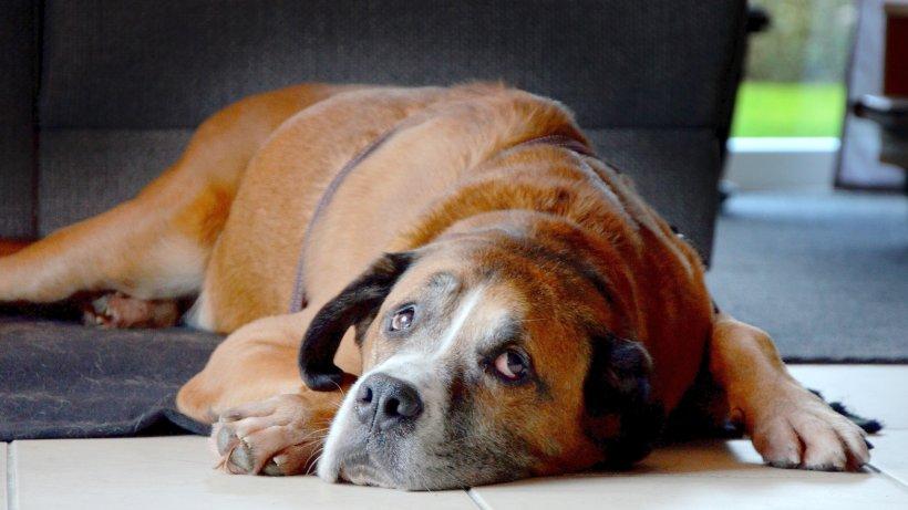 hund aiko hat nach acht jahren im tierheim ein zuhause hagen. Black Bedroom Furniture Sets. Home Design Ideas