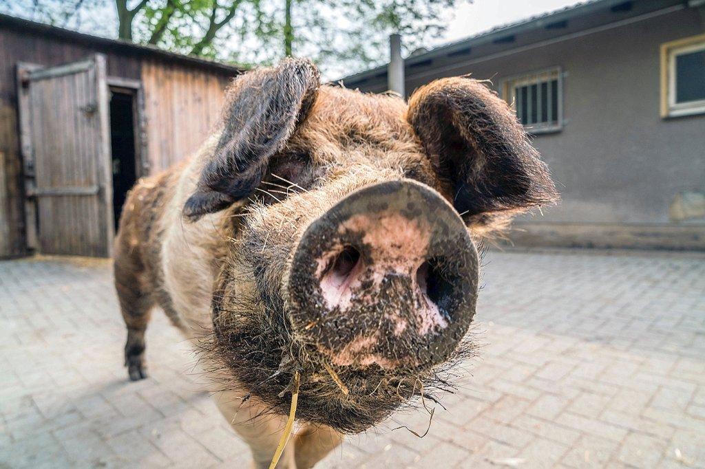 Erfreut Schwein Draht Geschweißte Draht Vs Galerie - Elektrische ...