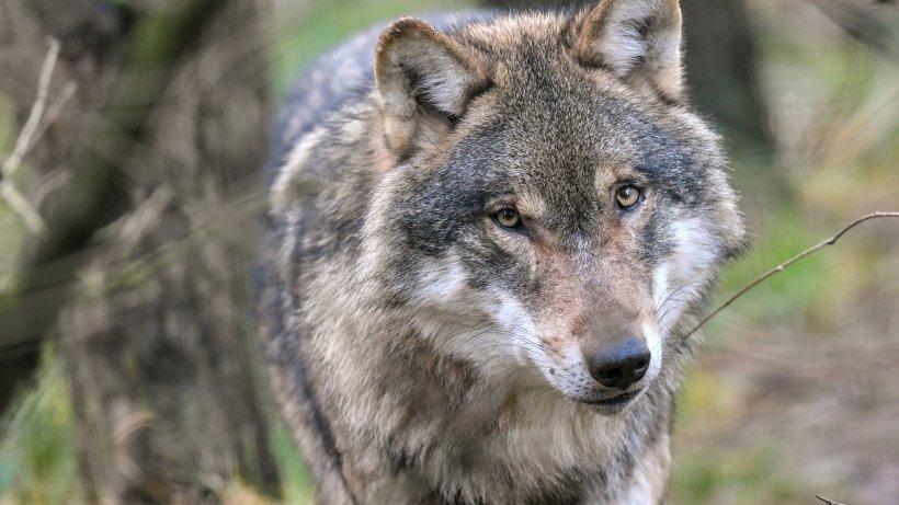 auch in h nxe wurde der wandernde wolf gesehen. Black Bedroom Furniture Sets. Home Design Ideas