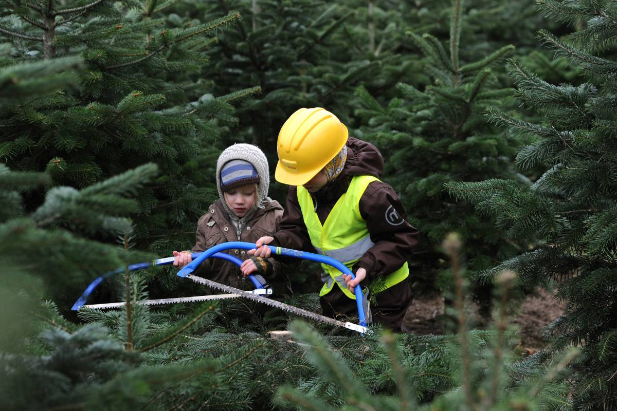 Weihnachtsbaum Schwerte.Hier Können Sie Christbäume Im Ruhrgebiet Selbst Schlagen Waz De