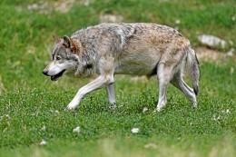 Karte: Übersicht: Hier wurden in NRW bisher Wölfe nachgewiesen