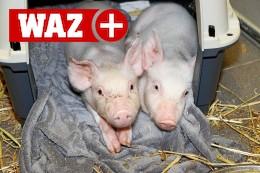 Oberhausen: Tierquäler setzen Schwein in Plastiktüte aus