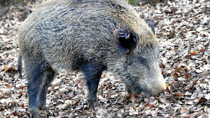 Tote Frischlinge: Afrikanische Schweinepest im Kreis Soest? - Westdeutsche Allgemeine Zeitung