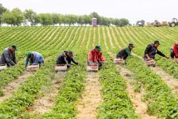 Erdbeer-Ernte: Den Erdbeerbauern laufen osteuropäische Erntehelfer davon